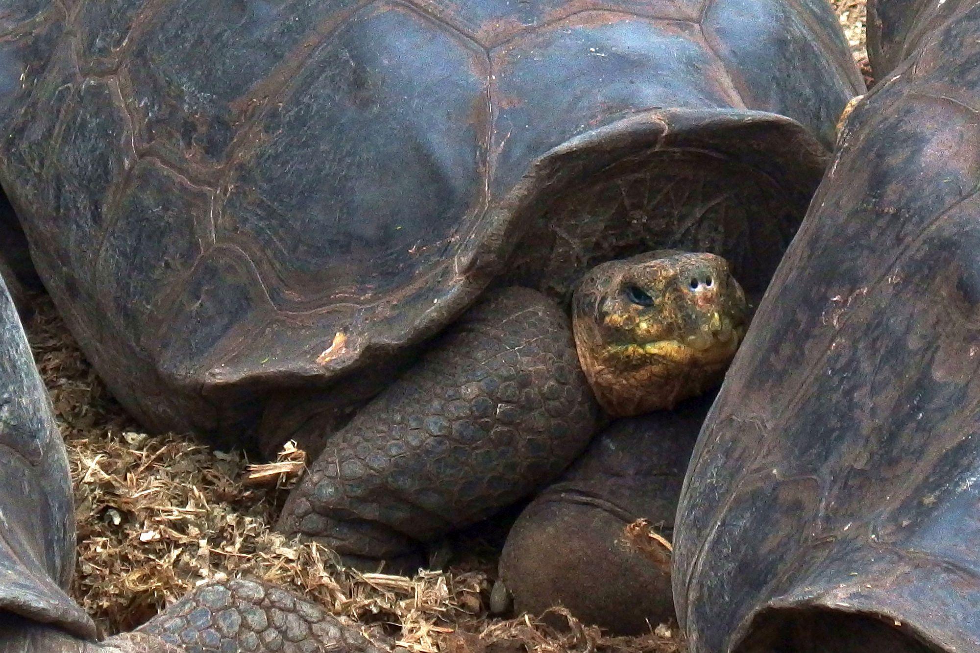 Galapážská želva: želva sloní